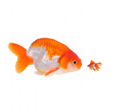 Big and Small Goldfish